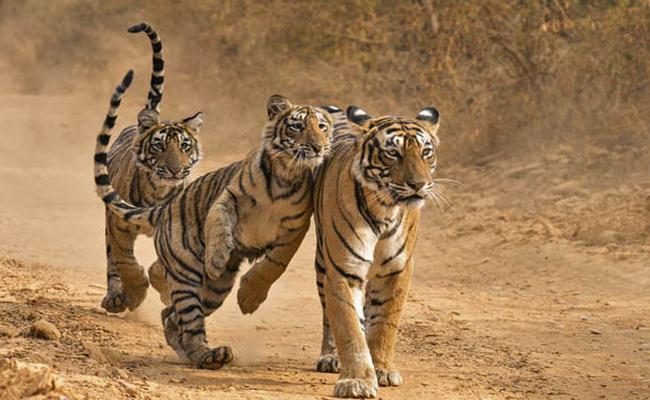 Tigers Are Died In Encounters - Sakshi