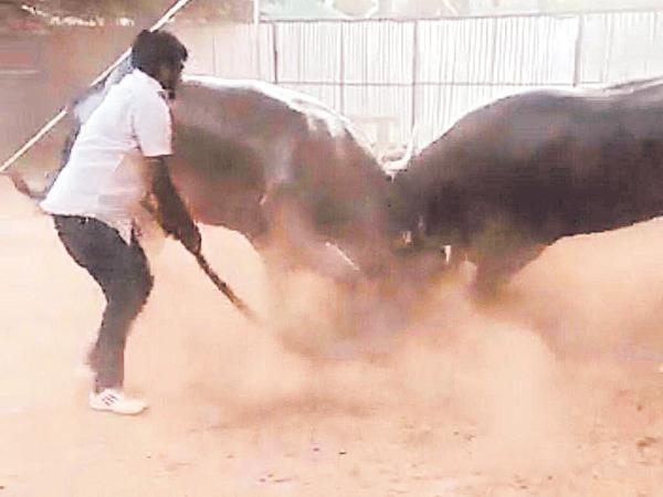 Deputy CM conveyor glasses Destroyed with Buffalo fight - Sakshi