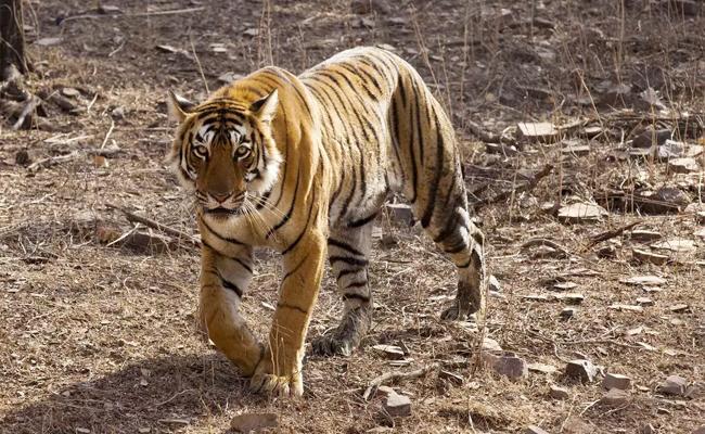 The Lethal tiger killed a Buddhist  at  Maharashtra - Sakshi