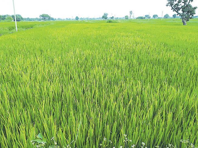 fake seed distribution for peddy crops - Sakshi