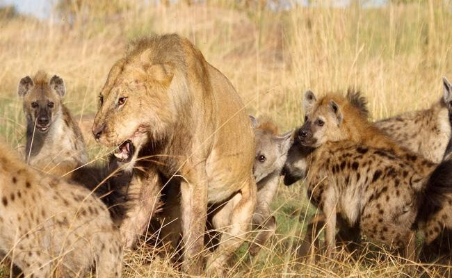 Hyenas Vs Lion Fight Guess Who Wins At The End - Sakshi