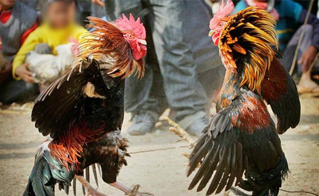 Two dies after Police rides on Cock Fight Centers in Krishna District - Sakshi