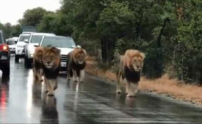 Viral Video Four Lions Take Over Busy Road - Sakshi