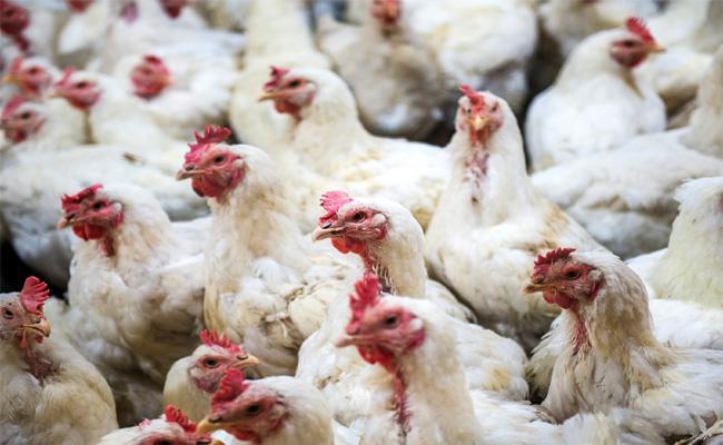 Chicken Mutton Prices Hikes on Sankranthi Festival - Sakshi
