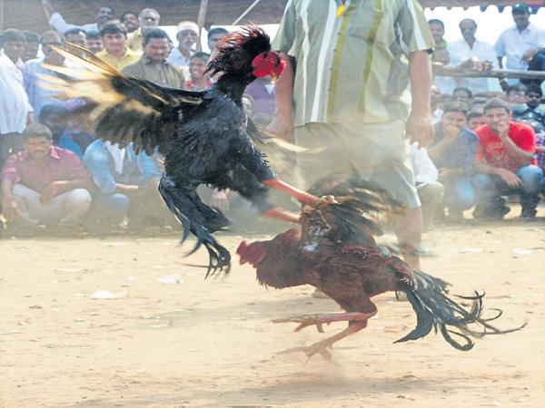 Rs 2000 crores Betting for Cock Fights - Sakshi