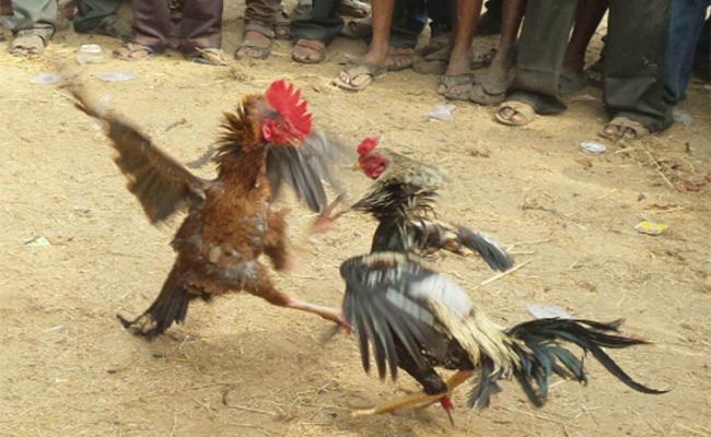TDP Leaders participate Hen Fights in East Godavari - Sakshi