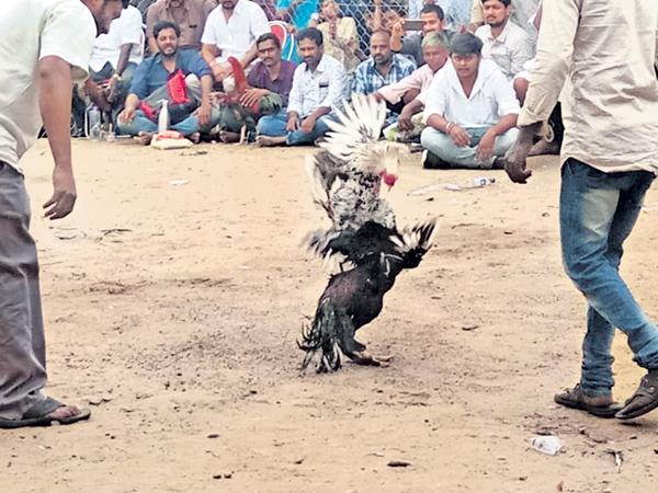 Up to Rs 2500 crore betting on Cock Fights in the State - Sakshi