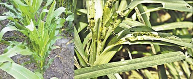 Fall armyworm in small grain forming - Sakshi