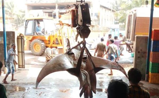 Huge Fish Caught In Ratnagiri In Maharastra - Sakshi