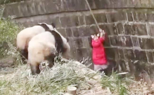 Girl Falls Into Panda Enclosure In China - Sakshi