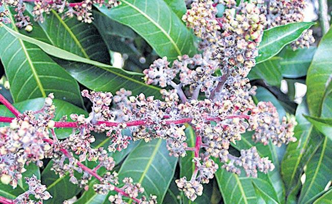 Prevention of organic farming for mango pests - Sakshi