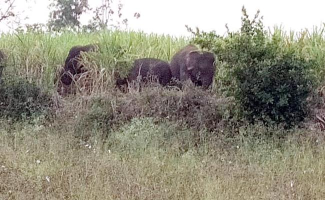 Elephant Atacks on Crops Vizianagaram - Sakshi