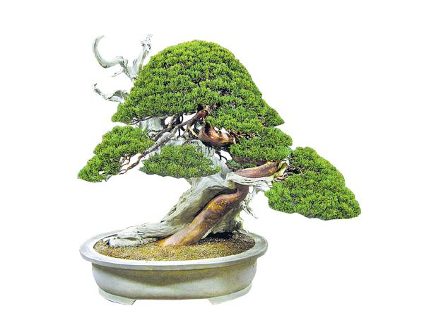 Four years old Rare Juniper Bonsai trees Robbery At Tokyo - Sakshi