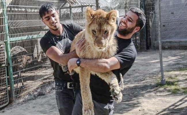 Gaza Zoo Allow Visitors To Play With Lion Which Is Declawed - Sakshi