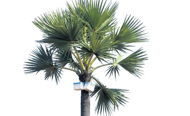 About 6 crore palm trees are not used in Telugu states - Sakshi