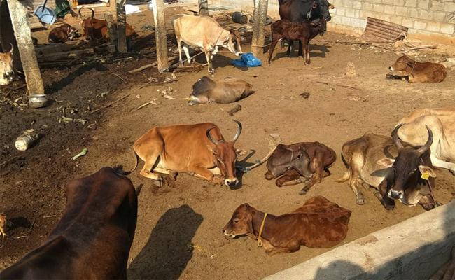 Family Escape From Murder Case Crop Animals Suffered - Sakshi