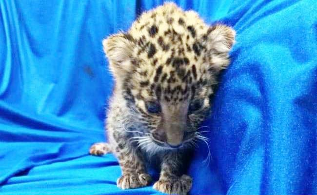 Chennai Airport Staff Feeds Leopard Cub Which Smuggled From Bangkok - Sakshi