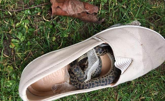 Snake Travels From Australia To Scotland In Scottish Woman Shoe - Sakshi