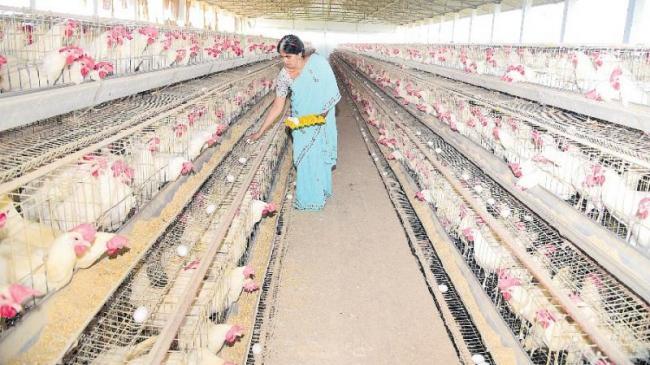 organic egg farming - Sakshi