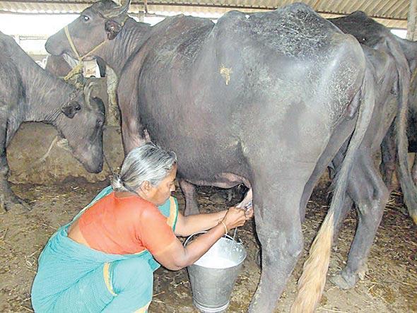 subsidy for dairy farmers in navarathnalu - Sakshi