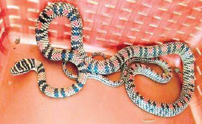 Golden tree snake sneaks into Malpe eatery, scares patrons - Sakshi