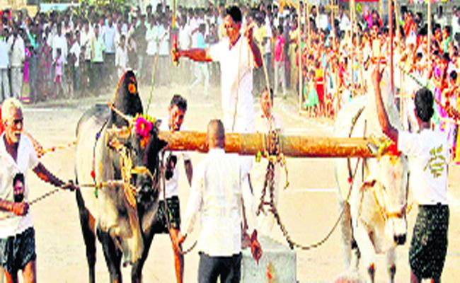 In Mahashivaratri Competitions In Peddavura  Katamrayudu Film Fame Bull Was A Special Attraction - Sakshi
