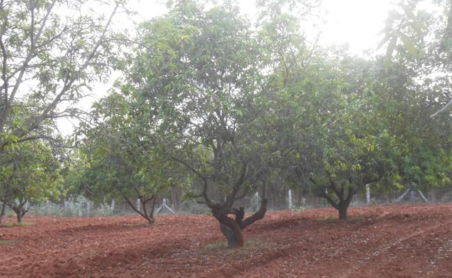 Mango Farmers Loss This Summer Season - Sakshi