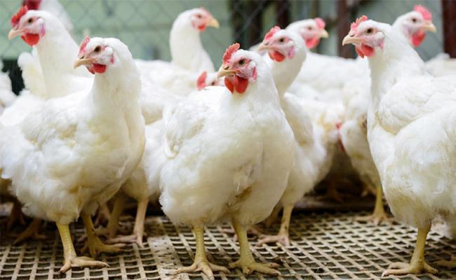 Chicken Price Hikes in Telugu States - Sakshi