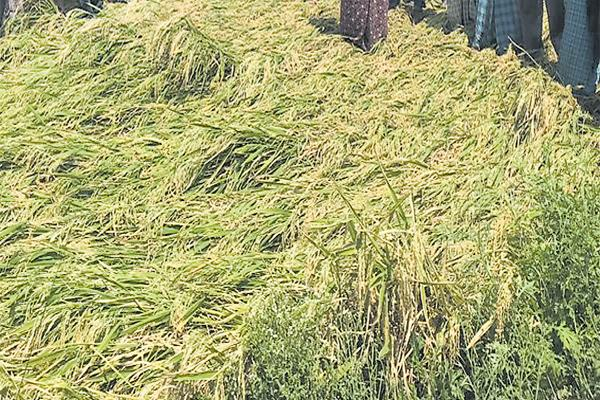 Farmers Crop loss in 61 thousand acres With Premature Rains - Sakshi