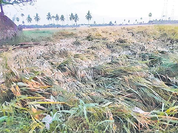 Crop Loss to Farmers With Premature Rains - Sakshi
