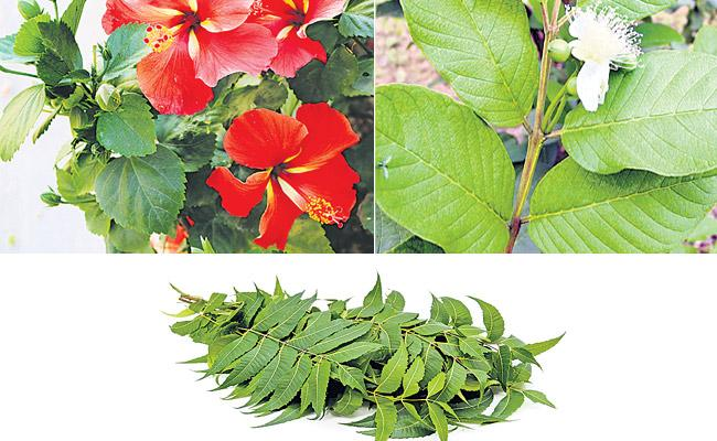 Drinking Tea Made With Hibiscus Leaf Reduces Blood Pressure - Sakshi