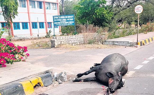 Buffalo leaving to life veterinary hospital before - Sakshi