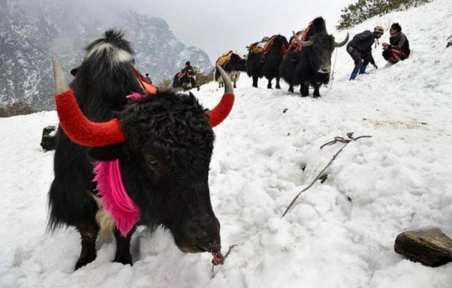 300 Himalayan Yaks Die of Starvation in Sikkim - Sakshi