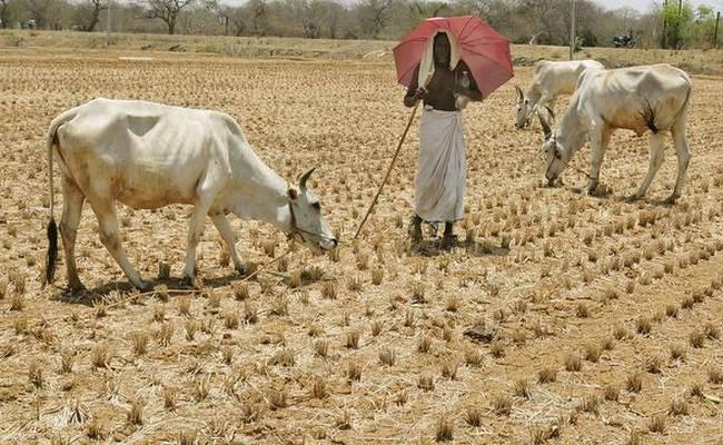 Cattle Fodder Shortage Adilabad Farmers - Sakshi