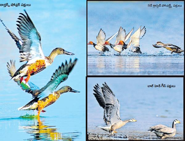 Foreign birds is coming to Paakala for summer - Sakshi