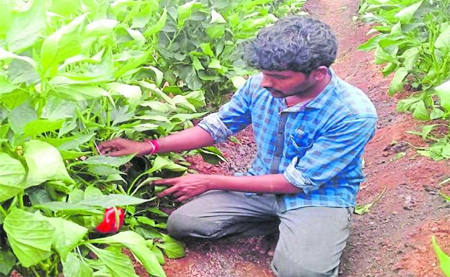 Farmer Get Income With Capsicum Corp in Karnataka - Sakshi