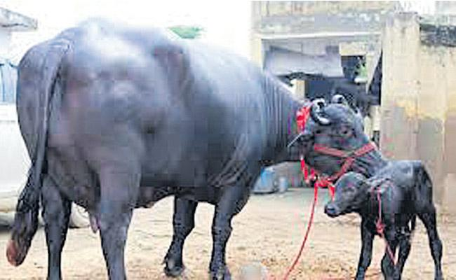 There is corruption in the distribution of buffalo - Sakshi