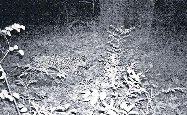 Leopard Caught At Thallada Forest In Khammam - Sakshi
