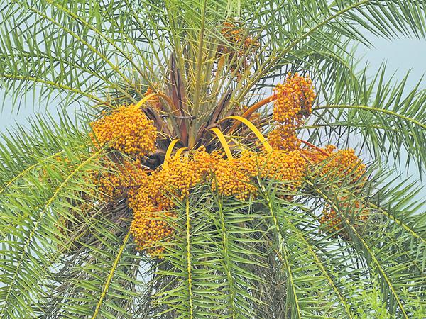 3000 to 6 thousand Silver date palm plants in Every village - Sakshi