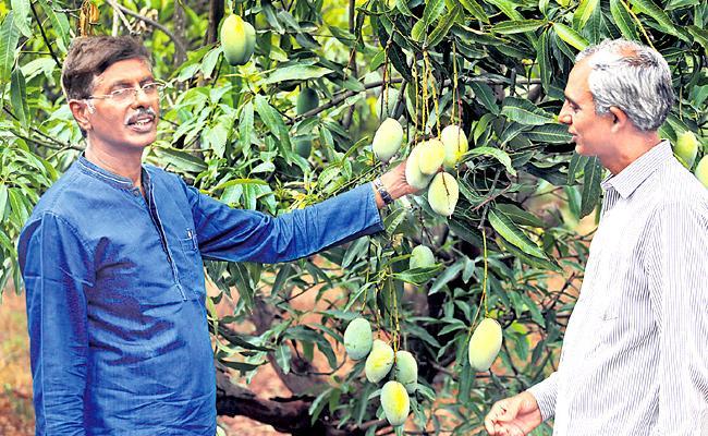 Special Story On Mango trees are abundant  - Sakshi