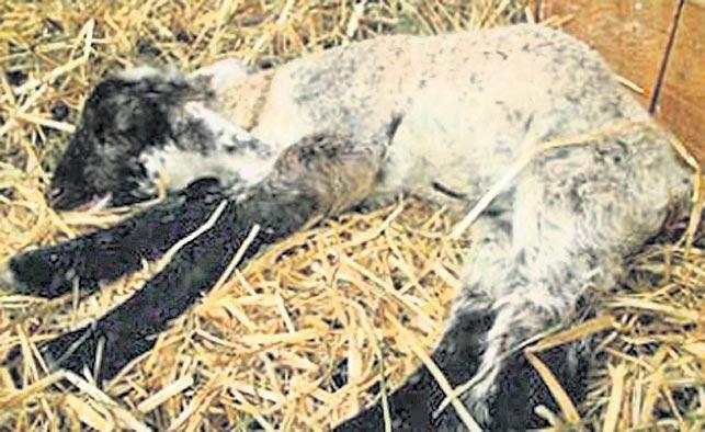seasonal diseases in Sheep - Sakshi