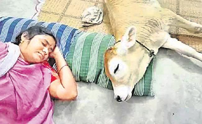 Calf Behaves Like Human In Vellore - Sakshi