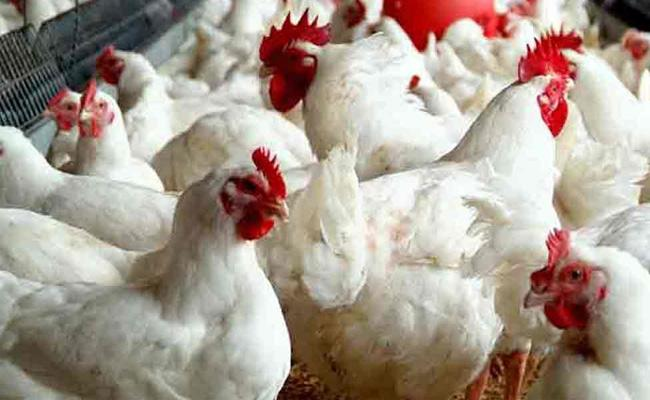 Chickens Died With Temperature Warangal - Sakshi