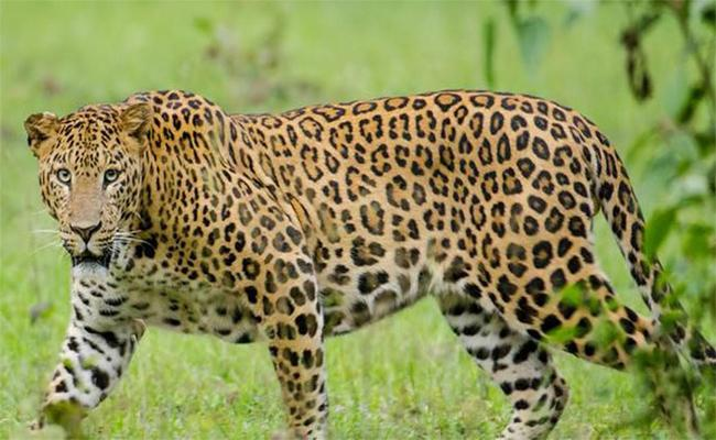 With Leopard Wandering Alerts Issued in Tirumala - Sakshi