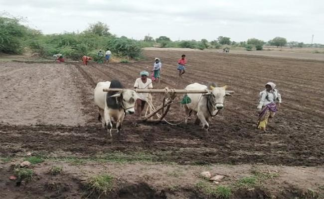 Monsoons Effect Farmers are Working on the Farm for Harvesting - Sakshi