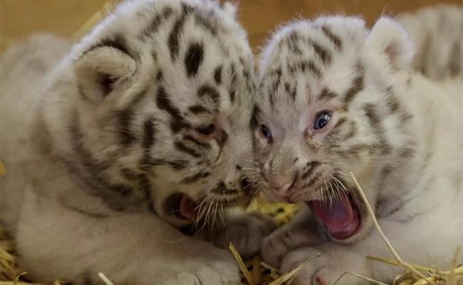 Rare White Bengal Tiger Cubs Make Their Debut At Austrian Zoo - Sakshi