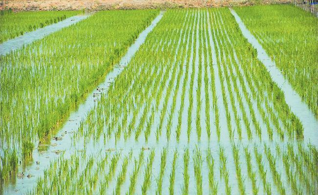 Different Rice Crops For Easy Profits - Sakshi