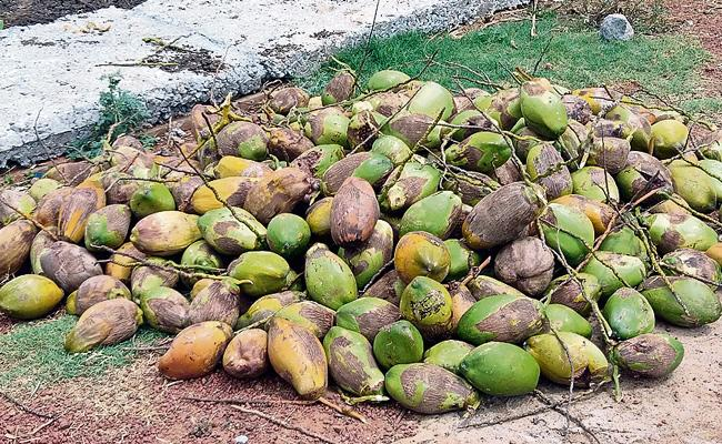 Coconut Size Decreased Due to Aquaculture in Konaseema - Sakshi