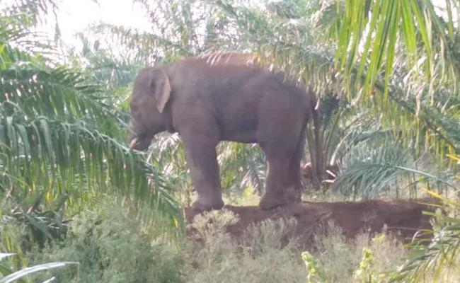 Elephants Attack on Crops Vizianagaram - Sakshi
