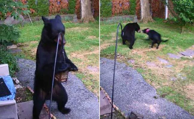Fearless Dog Chases Away Bear From Backyard In New Jersey - Sakshi